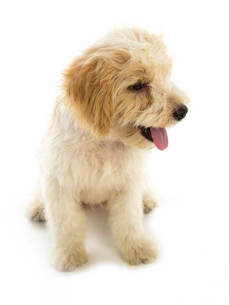 Designer Mixes For Sale - Bark Avenue Puppies
