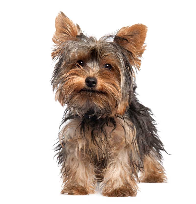 Toy Breeds for Sale - Bark Avenue Puppies