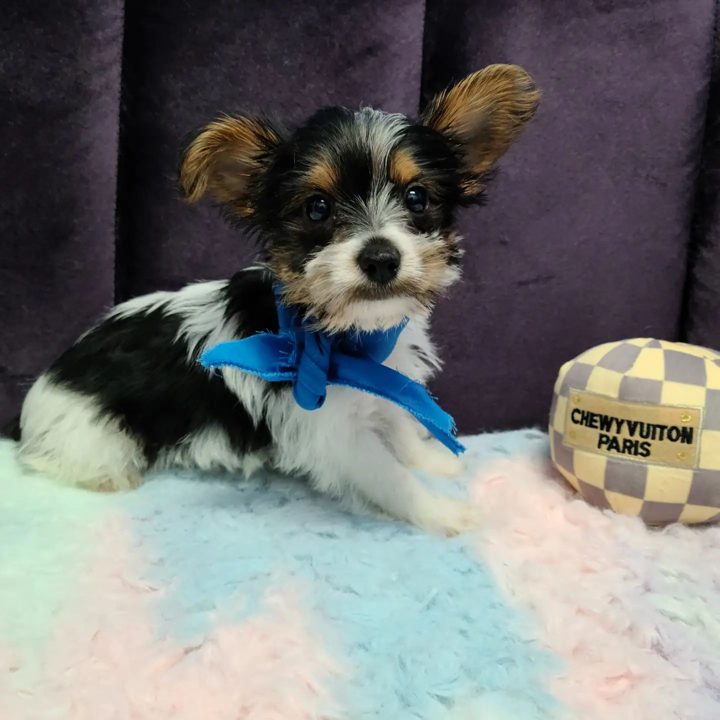 Yorkshire Terrier – Male Puppy