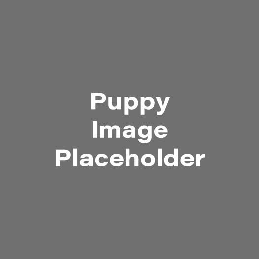 Yorkiepoo – Male Puppy