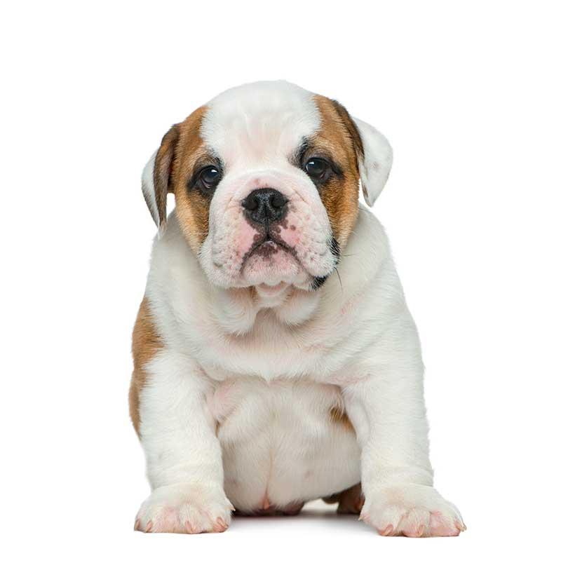 Bulldogs for Sale - Bark Avenue Puppies